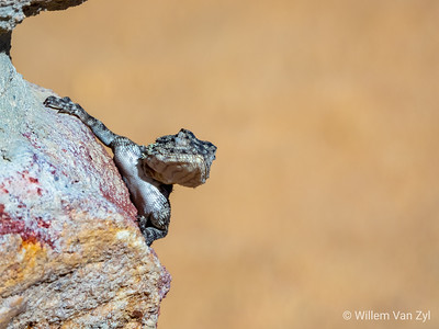 20191220 Southern Rock Agama (Agama atra) from Cederberg, Western Cape