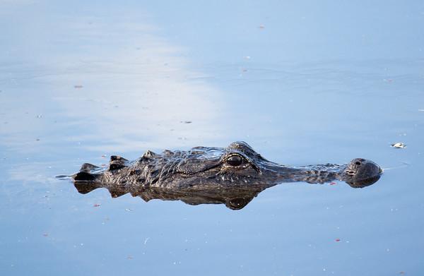 gator profile