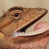 This oriental garden lizard was seen perching on a tree near Hồ Mạc lake in Cúc Phương National Park, Vietnam.