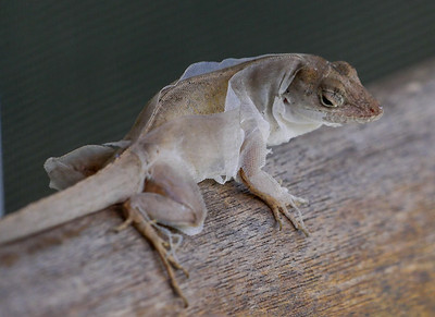 molting anole