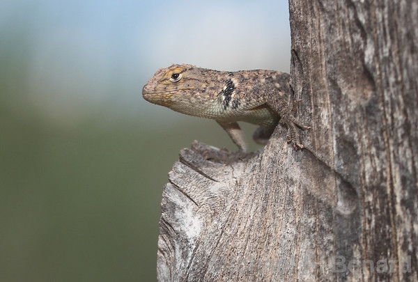 Baby Spiny Lizard on Fence