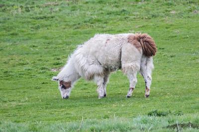 Llama-land in Denmark