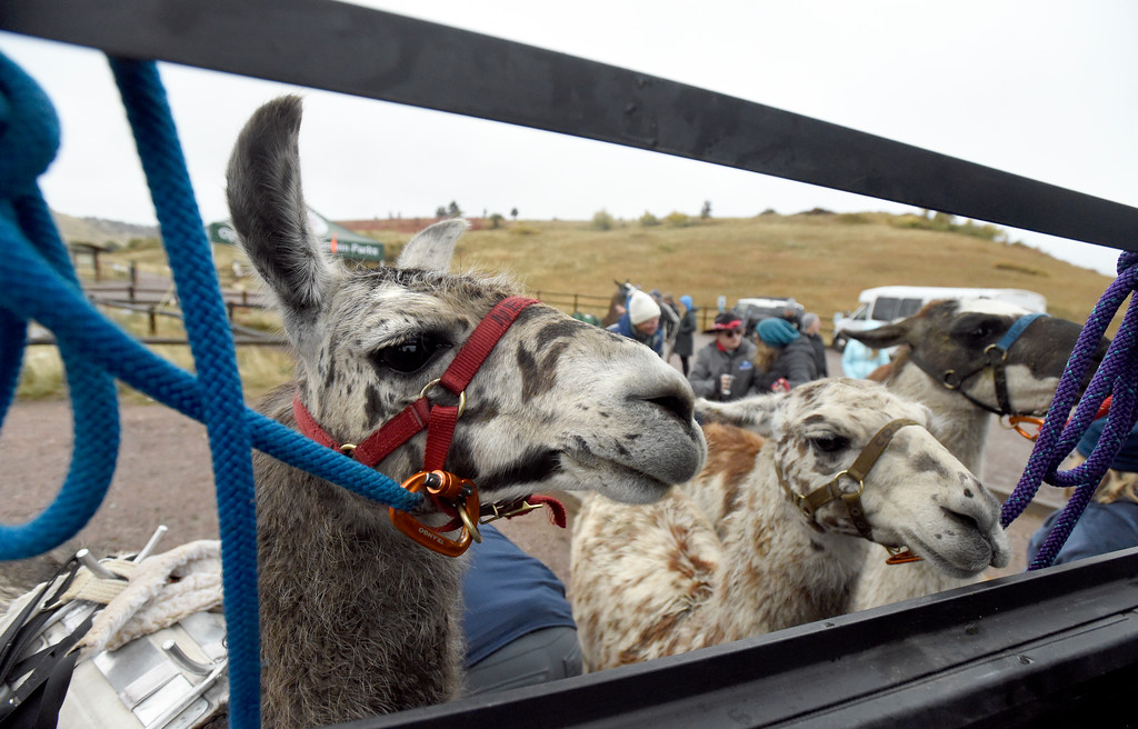 . BOULDER, CO - OCTOBER 9, 2018: Llamas are tied to a truck on Tuesday at the Doudy Draw Trailhead in Boulder County. Boulder\'s Open Space and Mountain Parks, The Center for People with Disabilities, and Pack Animal Magazine teamed together to try to find a way to use the llamas to help people with disabilities access the backcountry trails. For more photos and video of the event go to dailycamera.com (Photo by Jeremy Papasso/Staff Photographer)