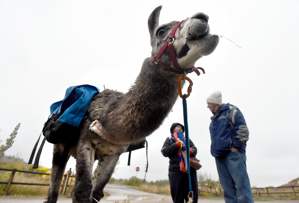 . BOULDER, CO - OCTOBER 9, 2018: A llama chews on grass as Charlie Hackbarth talks with Tracy Gendron on Tuesday at the Doudy Draw Trailhead in Boulder County. Boulder\'s Open Space and Mountain Parks, The Center for People with Disabilities, and Pack Animal Magazine teamed together to try to find a way to use the llamas to help people with disabilities access the backcountry trails. For more photos and video of the event go to dailycamera.com (Photo by Jeremy Papasso/Staff Photographer)
