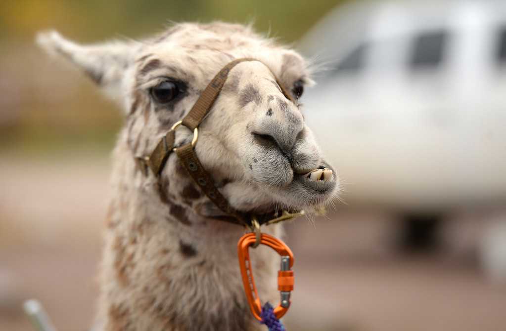 . BOULDER, CO - OCTOBER 9, 2018: A Llama chews on some grass on Tuesday at the Doudy Draw Trailhead in Boulder County. Boulder\'s Open Space and Mountain Parks, The Center for People with Disabilities, and Pack Animal Magazine teamed together to try to find a way to use the llamas to help people with disabilities access the backcountry trails. For more photos and video of the event go to dailycamera.com (Photo by Jeremy Papasso/Staff Photographer)