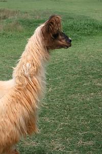 Peruvian Tamara