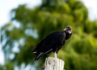 5337 laplace vulture-