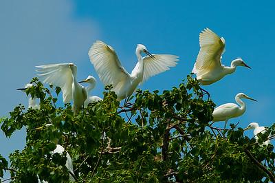_dsc2518 jefferson isle_ lake martin egret bluer_