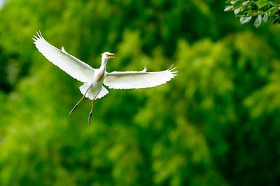 _DSC2705 egret in flight_