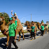 It would not be a St Patricks Day parade without 6 camels strolling down Palm Drive in Holmes Beach, FL
