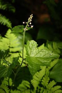 foamflower02