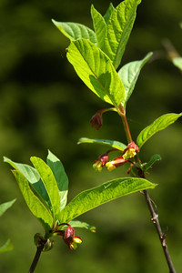 blacktwinberry02