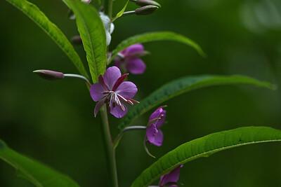 fireweed02