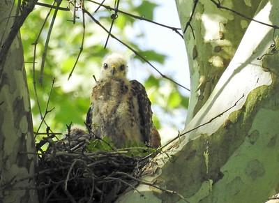 Red Shouldered Hawk - Chicks