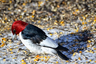 The Red Headed Woodpecker is simply stunning.  I was very happy to capture these images.  One of my photo goals was to take a nice clear photo of a red-headed woodpecker - they are common in the park near my home; but usually too far for a good photo. I never have them come to my feeders.