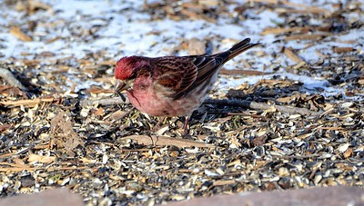 "Purple Finch The Purple Finch is the bird that Roger Tory Peterson famously described as a ""sparrow dipped in raspberry juice.""  Another bird that does not come to my feeders; except on rare occasion - was happy to see them and get a decent enough photo."