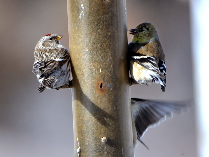 Common Redpoll with American Goldfinch