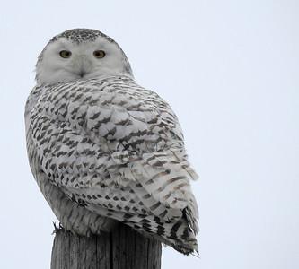 Snowey Owl_4.09.2018