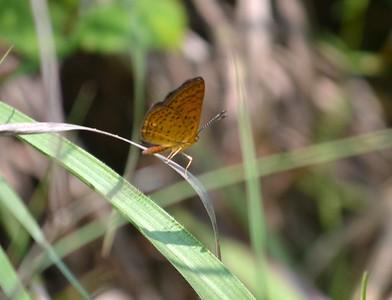 Swamp Metmark with wings closed