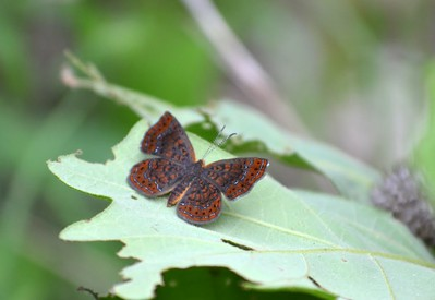 Swamp Metalmark - we saw multiple ones. Decided if it hadn't been cloudy and overcast we probably would have been more.