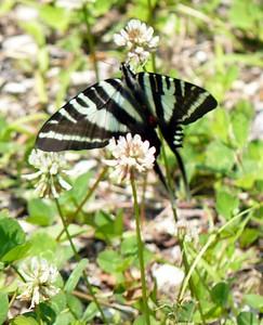 Zebra Swallowtail (Trail of Tears SP)