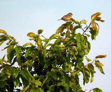 Grasshopper Sparrow - Sand Prairie Conservation Area