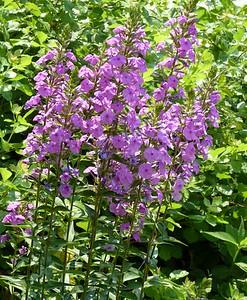 Purple Beardstongue