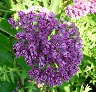 Purple Milkweed