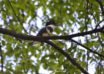 Belted Kingfisher (female) There were two of them; lots of rattling as they flew.