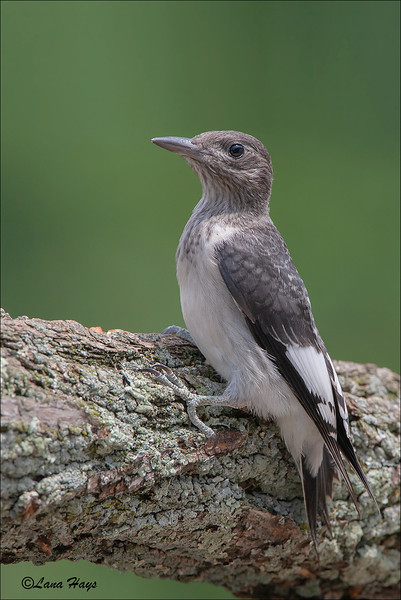 Red-headed Woodpecker (Juvenile)