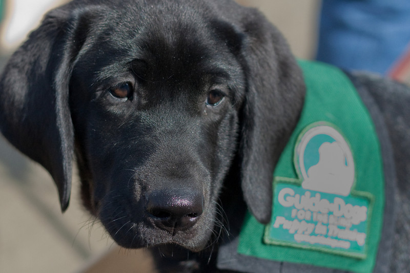 Guide Dog puppy in training.
