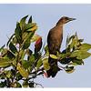 Brown-headed Cowbird<br /> Molothrus ater<br /> 3022N