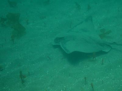 Bat ray