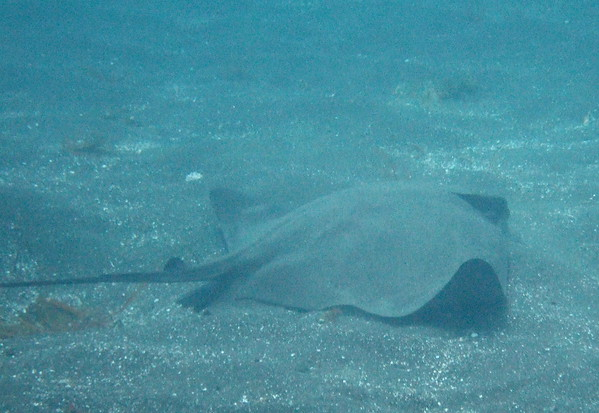 Bat ray feeding in the sand