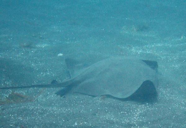 Bat ray feeding in the sand