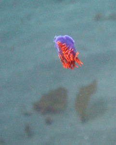 Free-swimming nudibranch