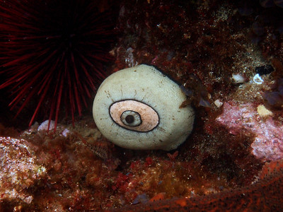 "Keyhole limpet, or as I like to call it, ""eyeball of the reef"""