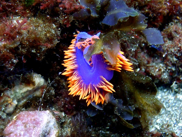 Spanish shawl nudibranch, laying eggs (those pink curlicues at top are its eggs)