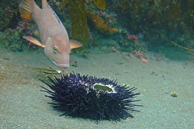 Female sheephead enjoying an urchin snack