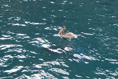 This pelican was shadowing the diver underneath