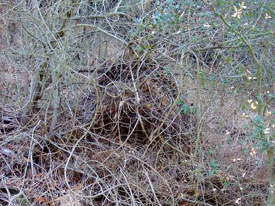 Wood rat den