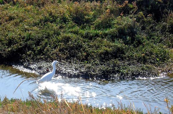 Snowy egret at Carpinteria Salt Marsh, 1/6/07