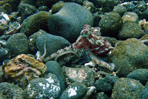 Octopus changing colors as he walked across the rocks