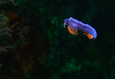 Flying nudibranch