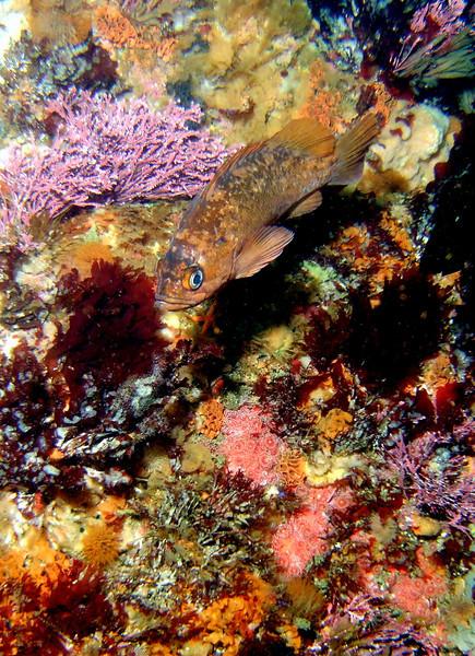 Copper rockfish (I think)