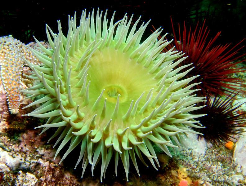 Giant green anemone