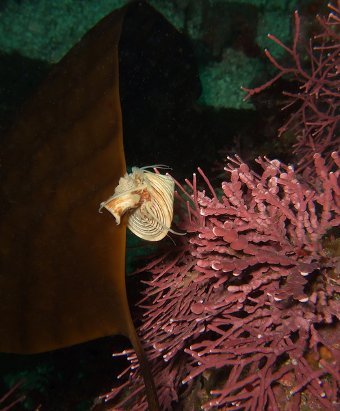 Whelk on kelp blade