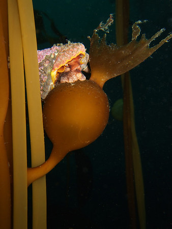 Jeweled top snail on kelp