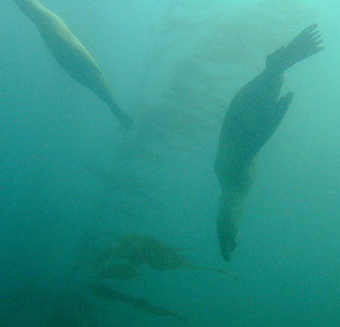 Lots of sea lions, moving too fast for my camera