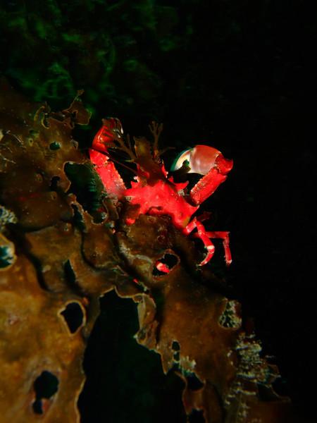 Red kelp crab